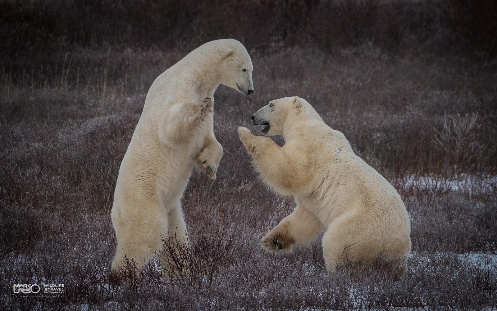 Marco Urso: Polar Bear Xperience – Churchill – Canada: l'orso polare e il suo habitat  dal 29 ottobre al 7 novembre 2017