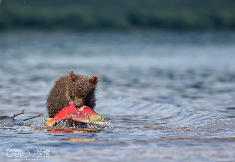 Marco Urso – Kamchatka il Grizzly e il suo habitat dal 18 al 31 luglio 2017