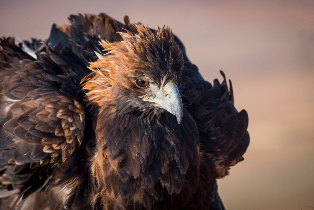 Simone Raso the eagle's hunter